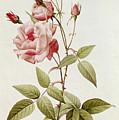 Rosa Indica Vulgaris by Pierre Joseph Redoute