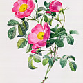 Rosa Lumila by Pierre Joseph Redoute