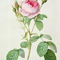 Rosa Muscosa Multiplex by Pierre Joseph Redoute