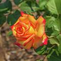 Rosa Peace by Jim Lepard
