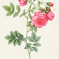 Rosa Pimpinellifolia Flore Variegato  by Pierre Joseph Redoute