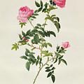 Rosa Sepium Flore Submultiplici by Pierre Joseph Redoute