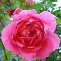 Rosa Zephrine  by Susan Baker