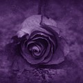 Rose - Purple by Angie Tirado