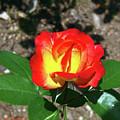 Rose 07 by Arik Baltinester