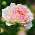 Rose 1 by Kevin Williams