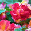 Rose 354 by Pamela Cooper