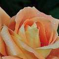 Rose 37 by Terri Winkler