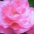 Rose 384 by Pamela Cooper