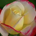 Rose 3913 by Steven Ward