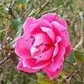 Rose 5 by Adele Fulcher