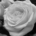 Rose 6 by Shannon Turek