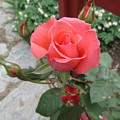 Rose America by Lyssjart Sj