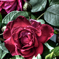Rose And Bud by Leslie Montgomery