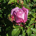 Rose And Bud by Sally Weigand