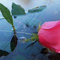 Rose And Water. by Nereida Slesarchik Cedeno Wilcoxon