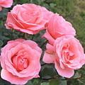 Rose by Armen Kirakosyan