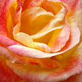 Rose Art Pink Yellow Summer Rose Floral Baslee Troutman by Baslee Troutman