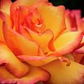 Rose Beauty by Jean Noren