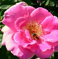 Rose Bee by Bennett Thompson