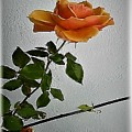 The Birthday Rose by Val Byrne