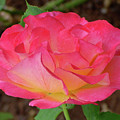 Rose Blushing by Shirley Heyn