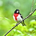 Rose-breasted Grosbeak 2 by Danielle Sigmon
