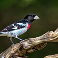Rose Breasted Grosbeak by Andy Favors