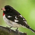 Rose-breasted Grosbeak Male Perched New Jersey  by Terry DeLuco