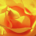 Rose Bright Orange Sunny Rose Flower Floral Baslee Troutman by Baslee Troutman