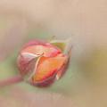 Rose Bud by Francesca Winspeare