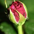 Rose Bud by Martina Fagan