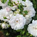 Rose Bush by Alicia Espinosa