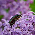 Rose Chafer On Lilac by Jouko Lehto