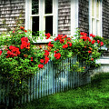 Rose-covered Fence In Shelburne Ns by Carolyn Derstine