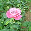 Rose by Cynthia Butler
