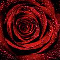 Rose Dew by Lee Pirie