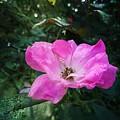 Rose Dew by Maria Urso