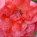 Rose Drops by Claudia Goodell