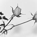 Rose Duo by Ryan Kelly