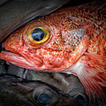 Rose Fish by Jacqueline Sue Photography
