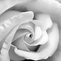 Rose Flower Black And White Monochrome by Jennie Marie Schell