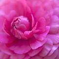 Rose Flower by M Valeriano