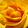 Rose Flower Orange Yellow Roses 1 Golden Sunlit Rose Baslee Troutman by Baslee Troutman