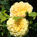 Rose Garden Floral Art Print Yellow Roses Canvas Baslee Troutman by Baslee Troutman
