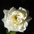 Rose Garden Flower 1 by Phyllis Spoor