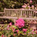 Rose Garden Rest by Jessica Jenney