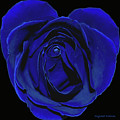 Rose Heart In Blue Velvet by DigiArt Diaries by Vicky B Fuller