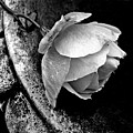 Rose In A Birdbath by Patricia Strand