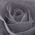Rose In Black And White  by Juergen Roth
